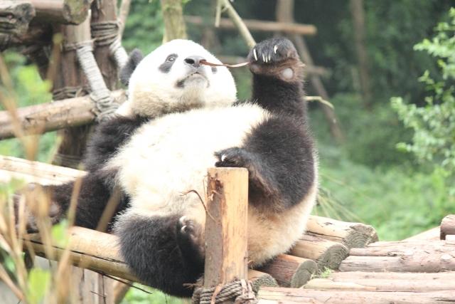 ものぐさパンダ