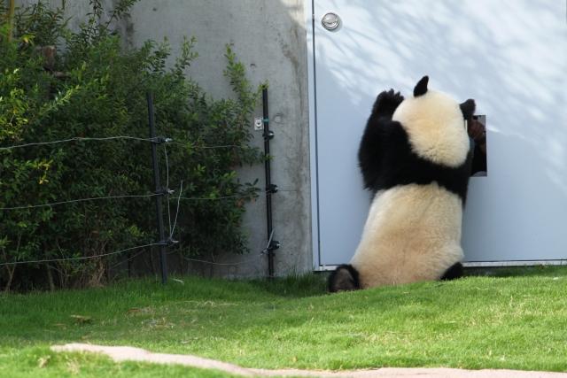 家に帰りたいパンダ