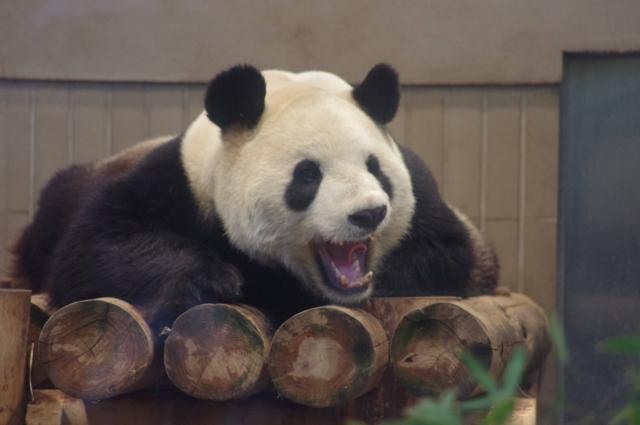 あくびするパンダ