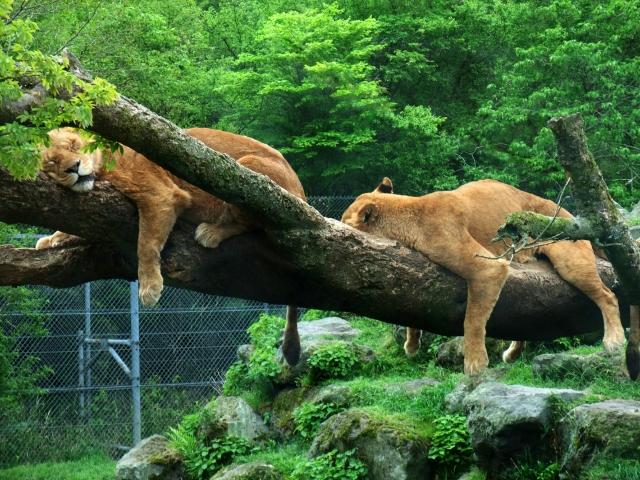 木の上で昼寝するライオン